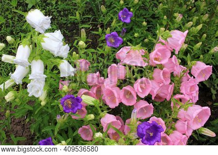 Campanula Champion, Canterbury Bells, Or Bellflower In The Spring Or Summer Garden. Close-up Of Pink