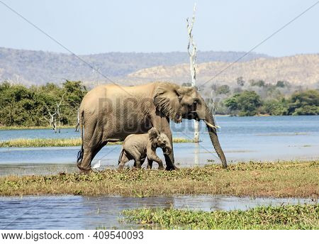 Mother Elephant With A Small Baby Elephant Walks Along The Shore Of The Pond. A Family Of Elephants