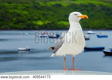 Seagull in the marina and boats in the backgrounds