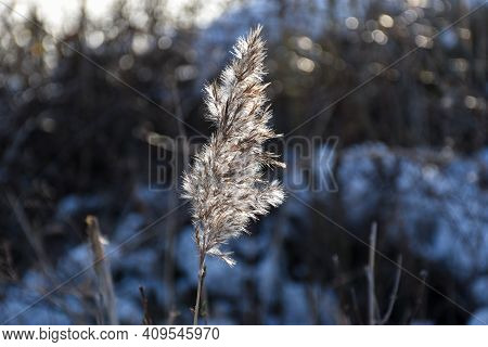 One Backlit Fluffy Reed Flower In Winter Season