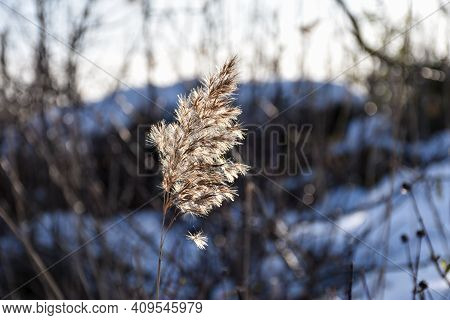 Single Dry Fluffy Reed Flower Close Up In Winter Season