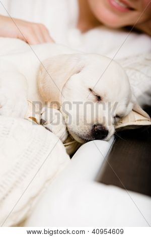 Close up of sleeping white puppy on the hands of female owner sitting on the sofa