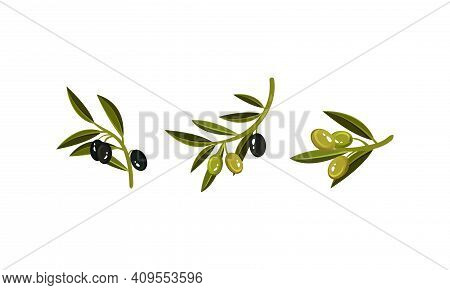Branches Of Green And Black Oily Olives Vector Set