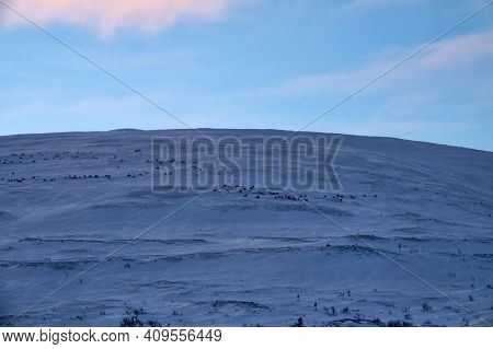 Herds Of Reindeer Feed On Top Of Bald Hill In Wintertime. At Top Of Mountain Wind Blows Away, Less S