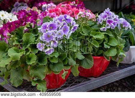 Beautiful Spring Primroses Flowers - Primula Polyanthus Or Perennial Primrose In The Garden Shop At