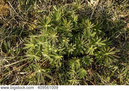 Rosette Shape Lupin Leaves .abstract Composition Of Plants In The Garden. Vegetative Background Them