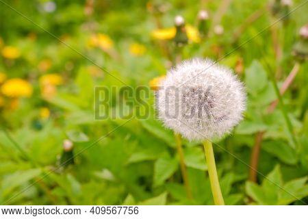 Meadow Of White Dandelions. Summer Field. Dandelion Field. Spring Background With White Dandelions.