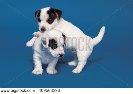 Little puppy on blue background. Young dog studio shot