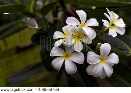 Exotic Frangipani Flower In A Natural Environment On A Branch. Asian Beauty.