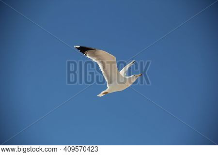 Ivory Gull Hovering In A Blue Cloudless Sky In The Southwest Of Spain. Beautifully Spread Wings, Clo