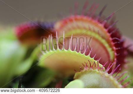 Venus Flytrap Dionaea Muscipula On Blurred Background.carnivorous Plants. Venus Flytrap Leaves And F