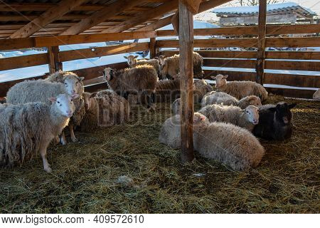 Sheep Inside A Sheep Farm. Thoroughbred Sheep On A Farm In The Stall.