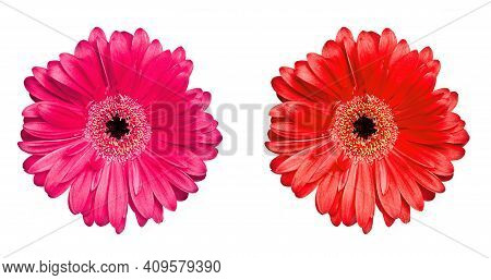 Bright Pink And Red Gerbera Daisies Isolated On White.