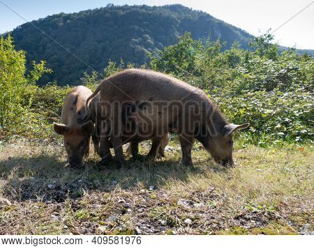 Big pig standing on a grass lawn.