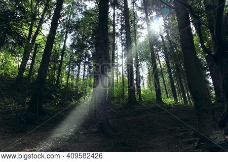 Bright Beam Of Light Forces Its Way Through Dense Trees In Forest. Ray Of Sun Breaking Through Dense