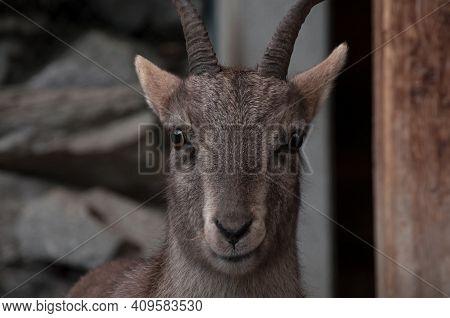 Portrait Of Brown Female Alpine Ibex Face Taken In Alpine Zoo. Innsbruck, Austria