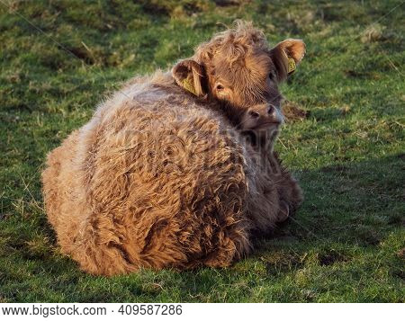 A Highland Cow Sleeping In The Fields Of The Rolling Scottish Hills