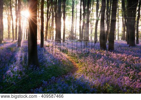 Bluebell Woods Path Sunrise In Norfolk England. Bluebells (hyacinthoides) Are A Late Spring Wild Flo