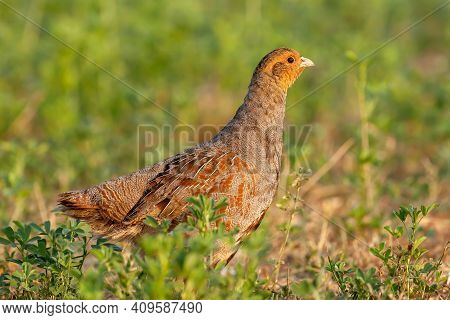 Grey English Partridge (male) Wildlife And Gamebird. The Bird Is Part Of The Pheasant Family, And In
