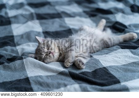 Small Purebred Scottish Straigth Kitten Lies On Back On Plaid Blanket On Tbed And Sleeps Cute. Adora