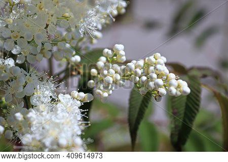 A Branch Of Closed Sem Ash Leaf Spirea Flowers