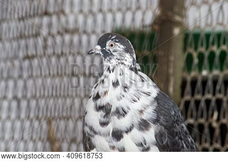 A Mottled Pigeon In A Dovecote. Front View On A Sunny Summer Day.