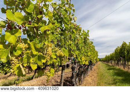 Grapes yellow muscat in Tokaj region, Unesco site, Hungary
