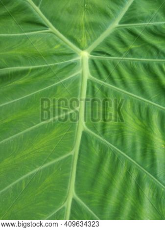 Taro Leaf. Close Up Of Fresh Green Leaves Texture Background. Floral Green Pattern Backgrounds.