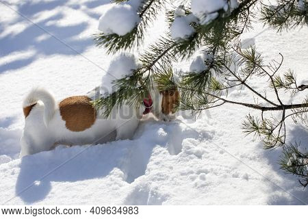 Jack Russell Terrier Looking For The Trail Of The Animal In A Snowdrift In The Forest