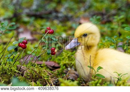 Cute Little Yellow Duckling Are Walking On The Green Grass In Spring Forest. Easter Young Duckling C
