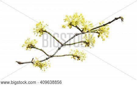 Cornus Mas, The Cornelian Cherry, European Cornel Or Cornelian Cherry Dogwood, Is A Species Of Flowe