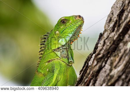 Green Iguana In Fort De France, Martinique. Also Known As The American Iguana Is A Lizard Reptile In