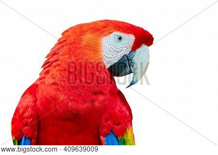Big Beautiful Red Parrot Scarlet Macaw (ara Macao). Portrait Of A Parrot On A White Background.