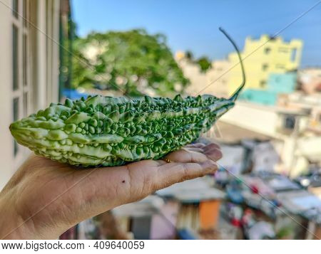 Female Hand Holding A Fresh Organic Bitter Gourd , It Is Also Known As Balsam Apple , Balsam Pear, B