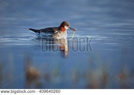 Red-necked Phalarope (phalaropus Lobatus) On A Lake In Northern Norway, Varangerfjord.  A Picture Of