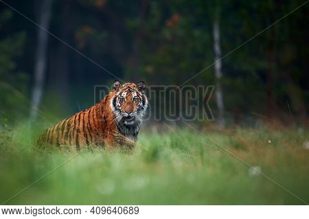 Amur Tiger In The Forest. Wildlife Scene With Danger Animal. Siberian Tiger, Panthera Tigris Altaica