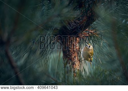 The Smallest European Bird Goldcrest (regulus Regulus) Which Lives In Deep Forests. European Smalles