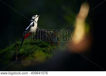 Great Spotted Woodpecker (dendrocopos Major) In The Dark Forest. A Bird In Its Natural Habitat. Wild