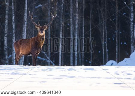 Red Deer In Winter Forest. Wildlife, Protection Of Nature. Raising Deer In Their Natural Environment