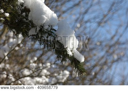 White Snow Lies On Spruce Branches In Winter