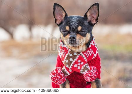 Chihuahua Puppy With Scarf. Chihuahua Dog In A Scarf On The Background Of Nature In Winter