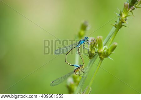 Coenagrion Puella. Two Dragonflies On A Green Branch, Place For Text. A Pair Of Dragonflies Mate In