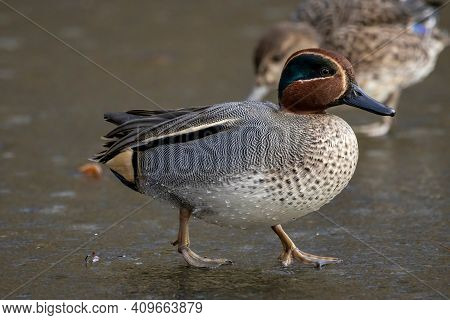 Beautiful Male Teal Duck At A Little Pond Called Jacobiweiher Not Far Away From Frankfurt, Germany A