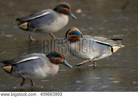 Beautiful Male Teal Ducks At A Little Pond Called Jacobiweiher Not Far Away From Frankfurt, Germany