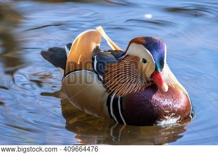 Beautiful Male Mandarin Duck Swimming In A Little Pond Called Jacobiweiher Not Far Away From Frankfu