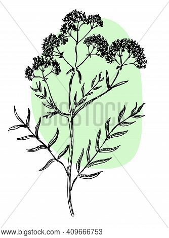 Drawing Of Valerian In Two Colors On A White Background
