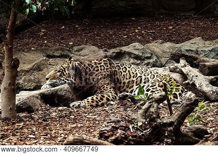 Beautiful Spotted Panther Lying On The Ground In Its Natural Habitat