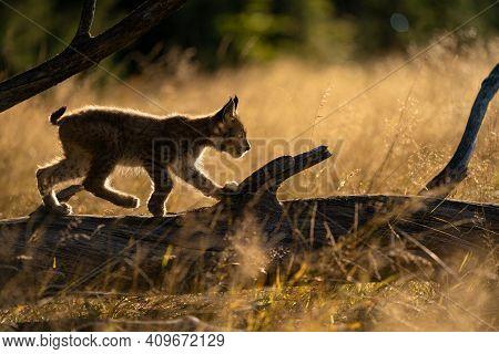Small Lynx From Side Walking On A Fallen Tree Trunk. Silouhette Of Small Lynx In The Morning Golden