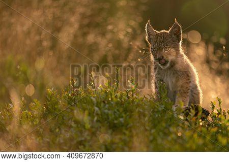 Licking Baby Lynx In Tall Grass In The Golden Light Of The Setting Sun. Lusty Kitten Lynx