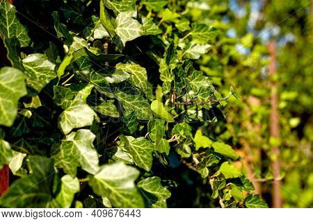 Green Ivy Leaves. Ivy (hedera) Plant Useful As A Background